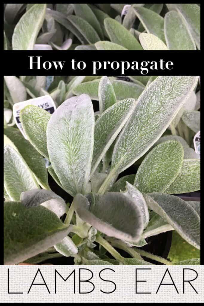 Propagate Lamb's Ear