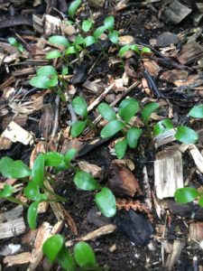 Hellebore seedlings in garden