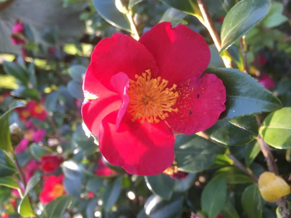 """Camellia """"yule tide""""- Best plants for privacy"""