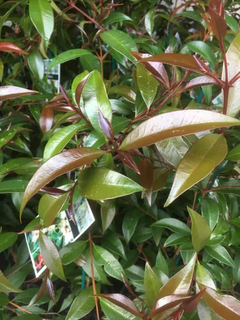 Syzygium australe- Best plants for privacy