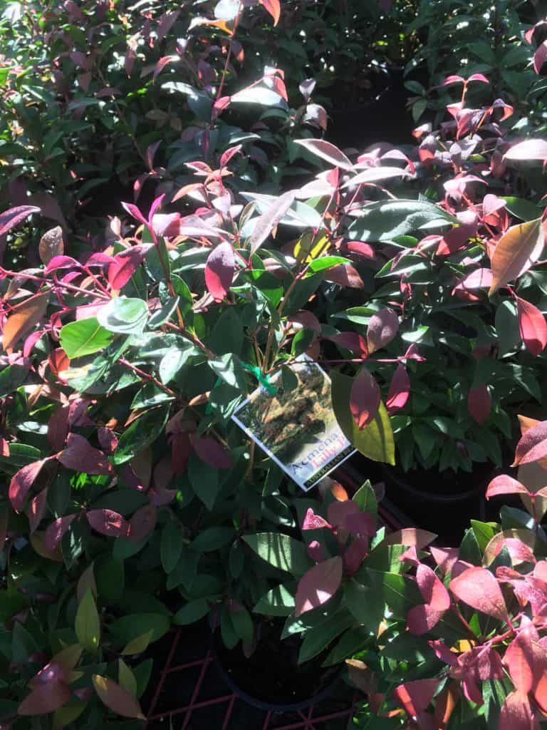 Acmena smithii- Best plants for privacy
