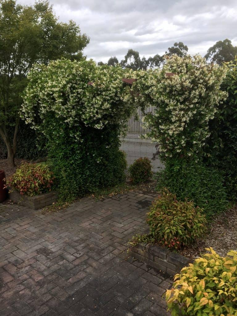 Trachelospernum asiaticum- Japanese star jasmine- Best plants for privacy