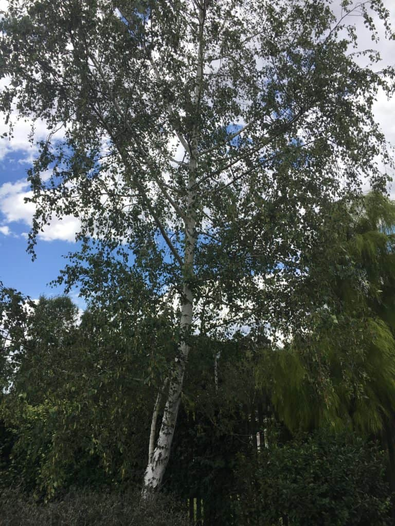 Best deciduous tress for summer shade-Silver birch