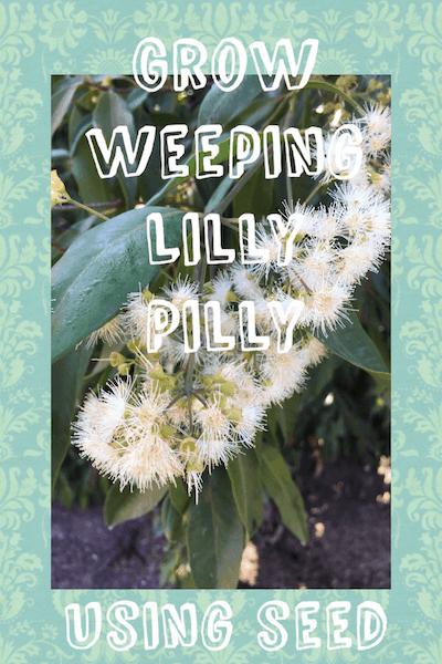 Growing weeping lilly pilly seeds- Waterhousea floribunda