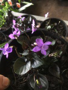 viola labradorica-alpine violet-propagation