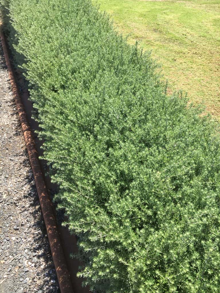 8 Great plants for a low hedge-Westringia-Native rosemary