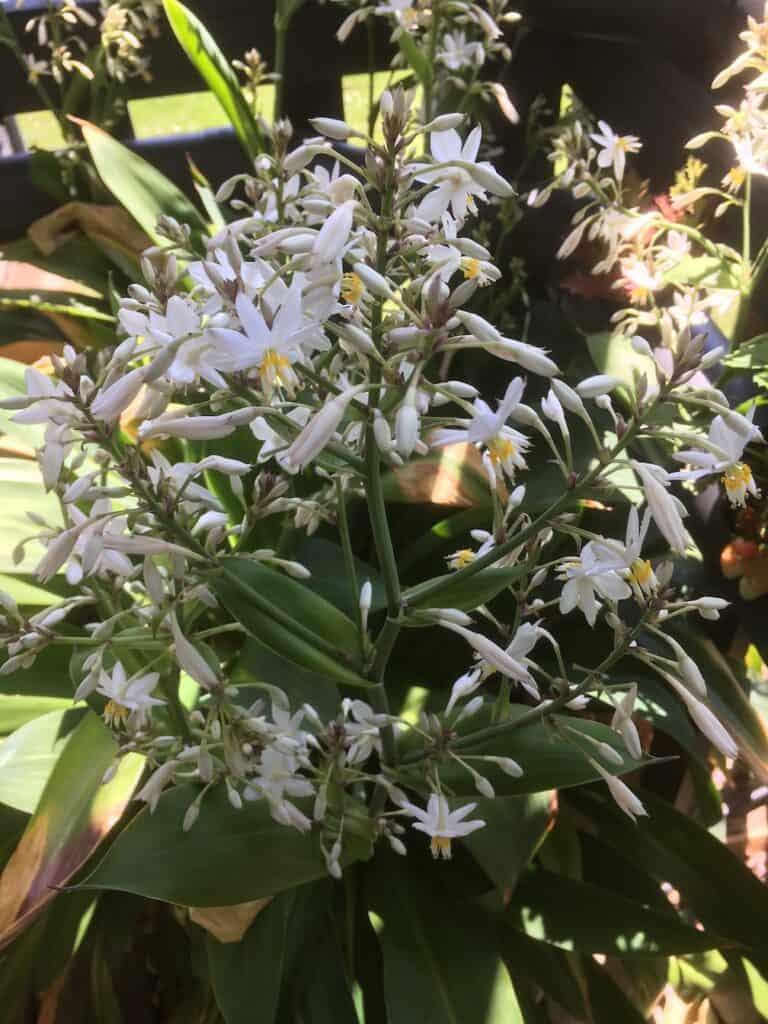 Arthropodium- New Zealand rock lily