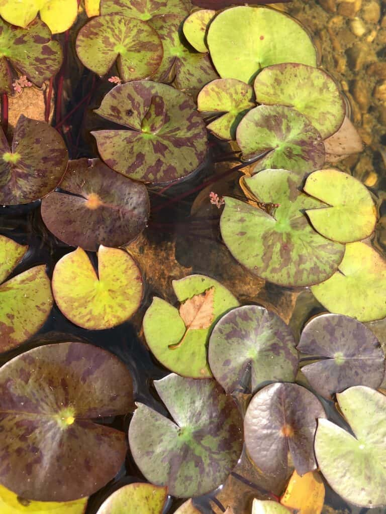 Hardy Water Lily- Nymphaea spp.