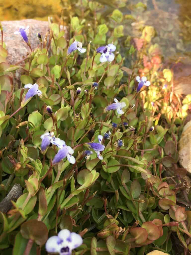 Blue moneywort- Lindernia grandiflora