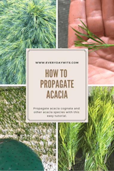 Propagate Acacia Cognata