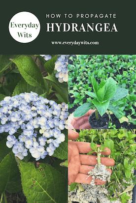 How to propagate hydrangea