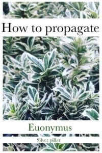 How to propagate euonymus