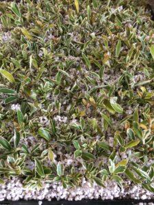 Propagate euonymus- perlite & peat moss mix