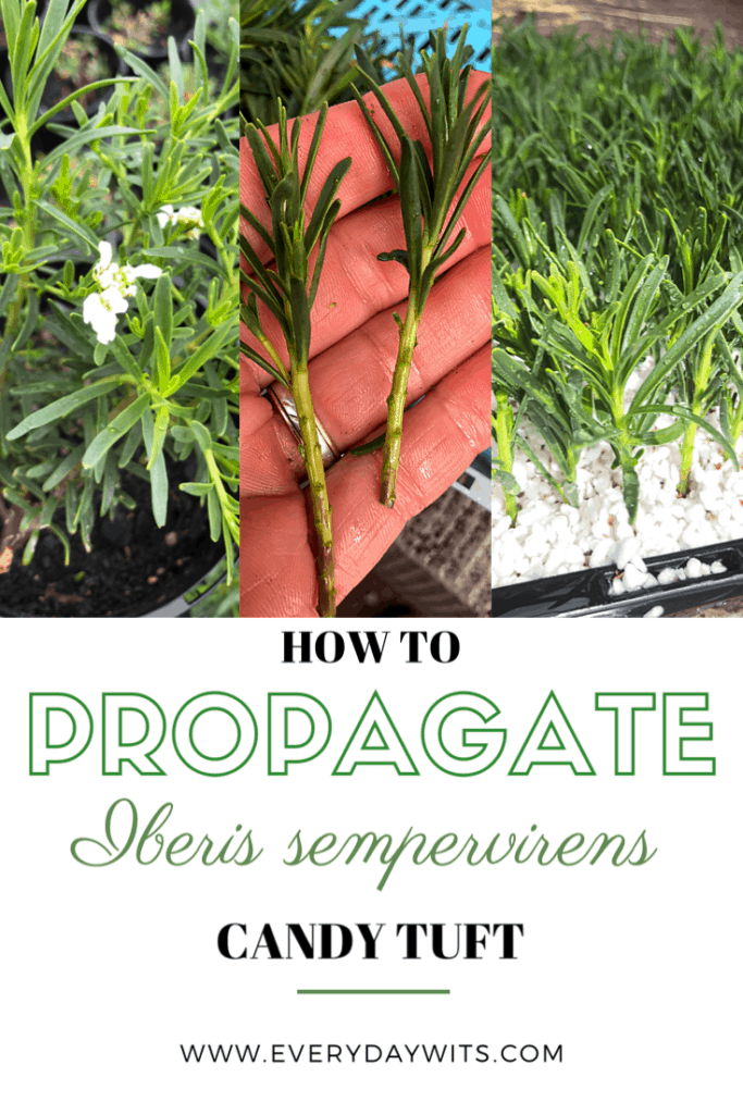 how to propagate iberis sempervirens candytuft