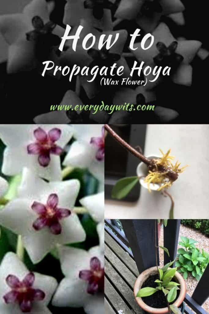 how-to-propagate-hoya