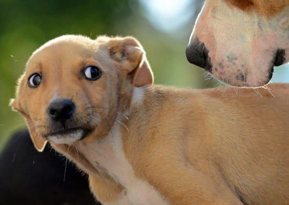 Canine Body Language-Dog Aggression-Dog Anxiety