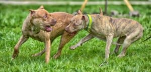 aggressive pit bull