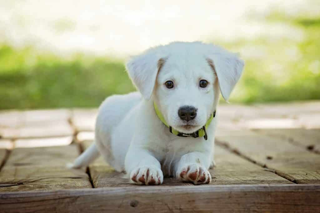 phoenix puppy training white lab puppy