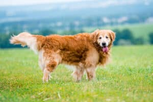 Golden Retriever Dog Training