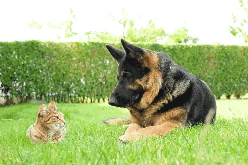 Training a dog to not chase a cat