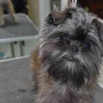 Tamarin's Puppy