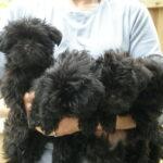Taser x Clara Pups