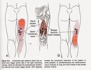 hammy anatomy