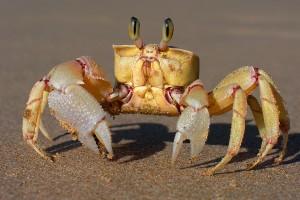 Adaptive crab