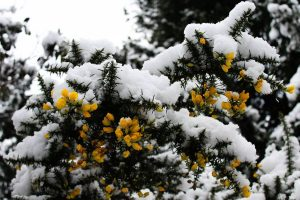 Snow on gorse by Maria L'orange
