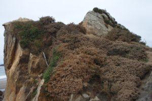 Harris Beach Gorse Removal