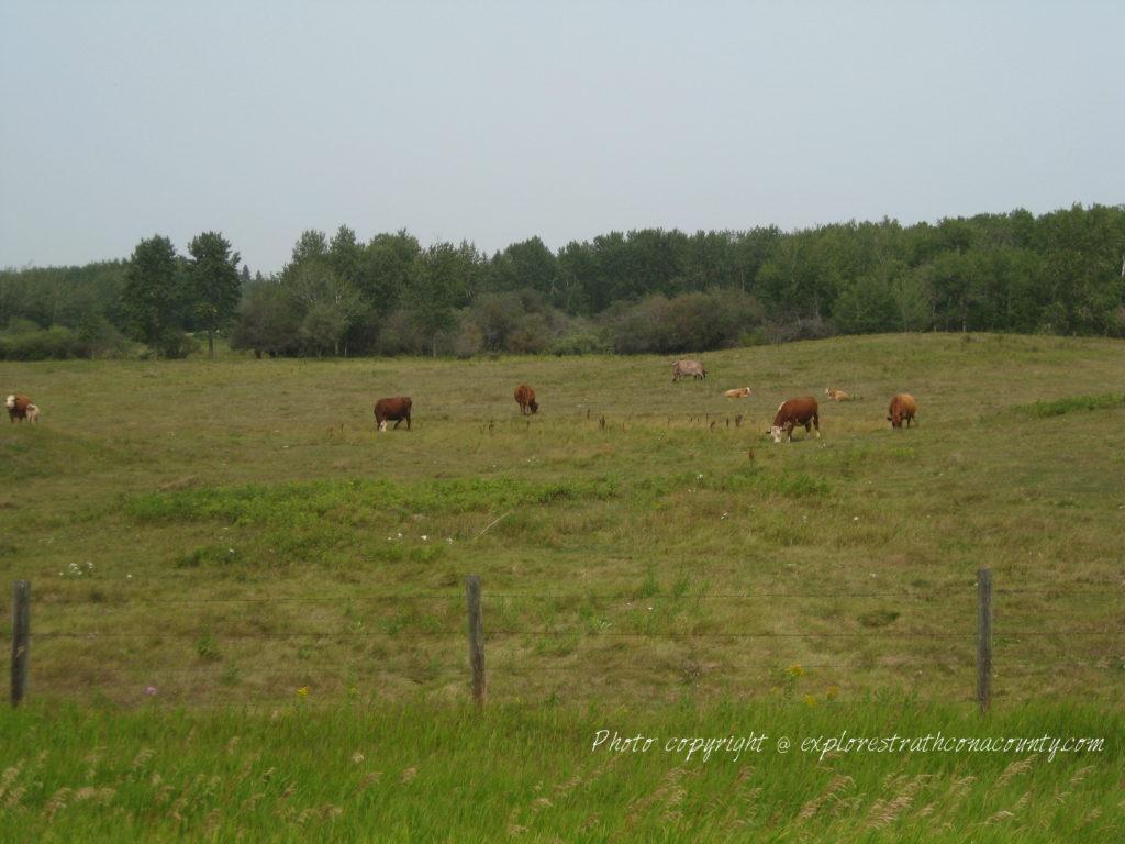 Cows Strathcona County