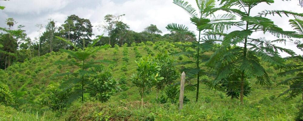 young-chancho-plantation-native-costa-rica