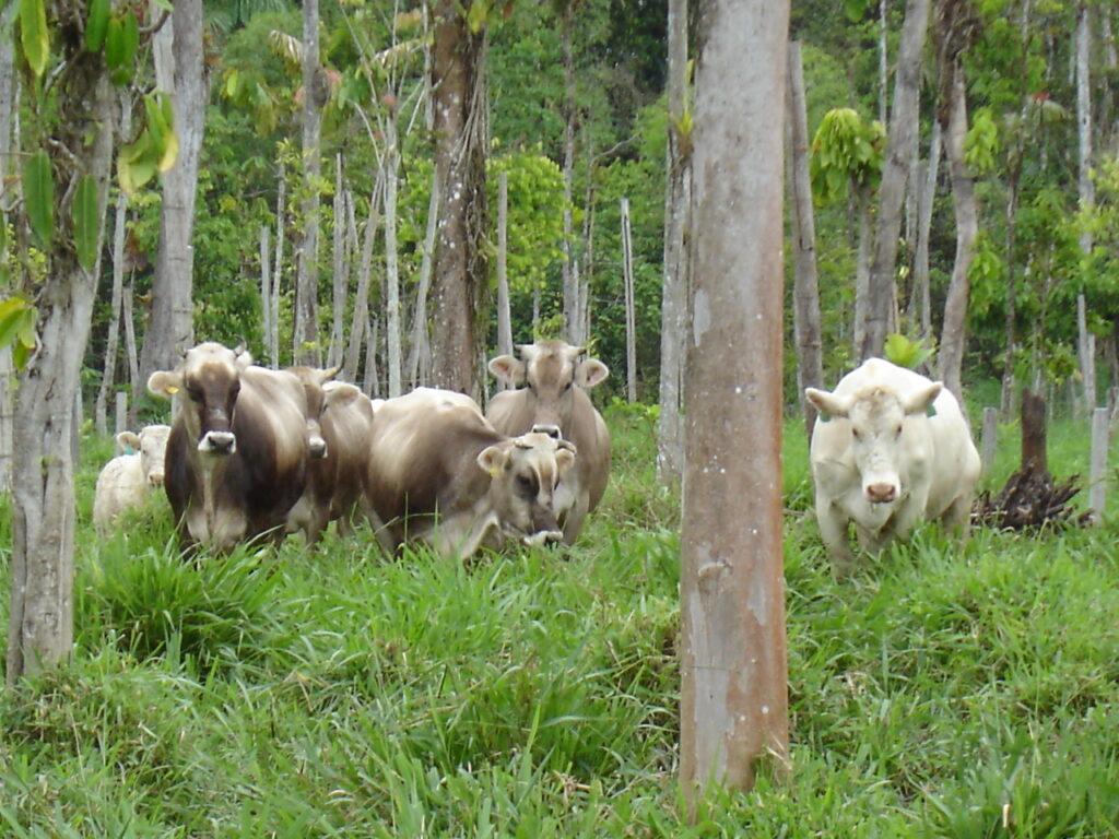 Reforested silvopastoral system, Amazonian Ecuador (Photo: Thomas Rudel)