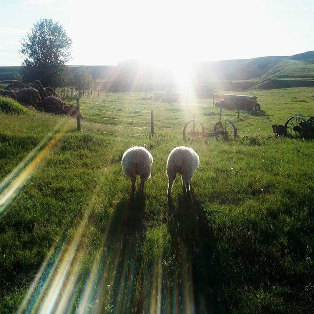 Sunset lamb butts