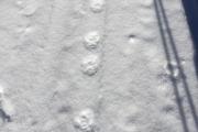 2018-02-18 lynx tracks