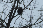 2018-02-19 a porcupine on the Green