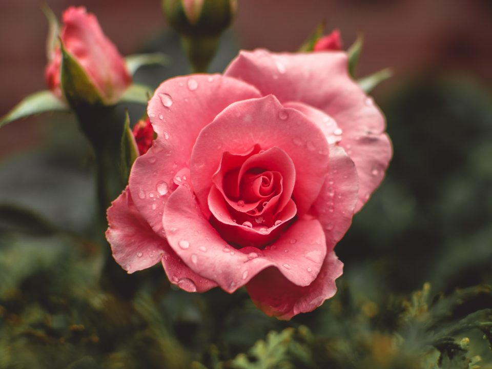 pink roses bloom with water drops