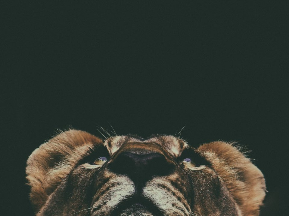 brown lion looking up in macro lens photography