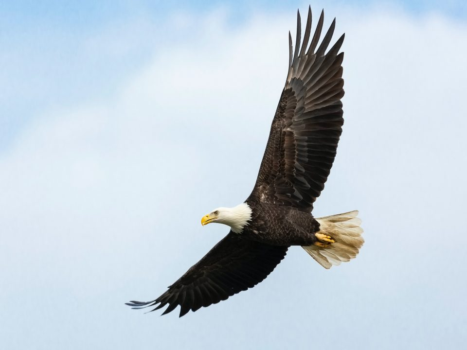 white and brown bald eagle