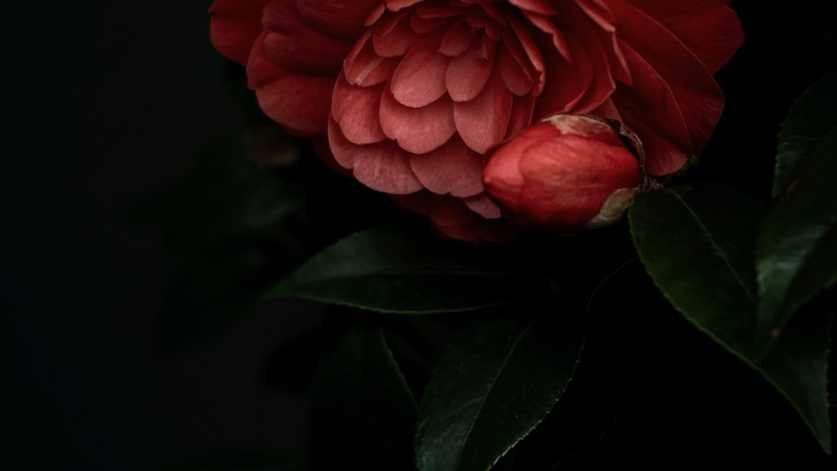 red rose in bloom close up photo