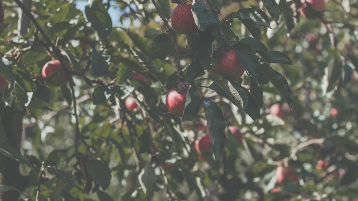 red round fruits on tree during daytime
