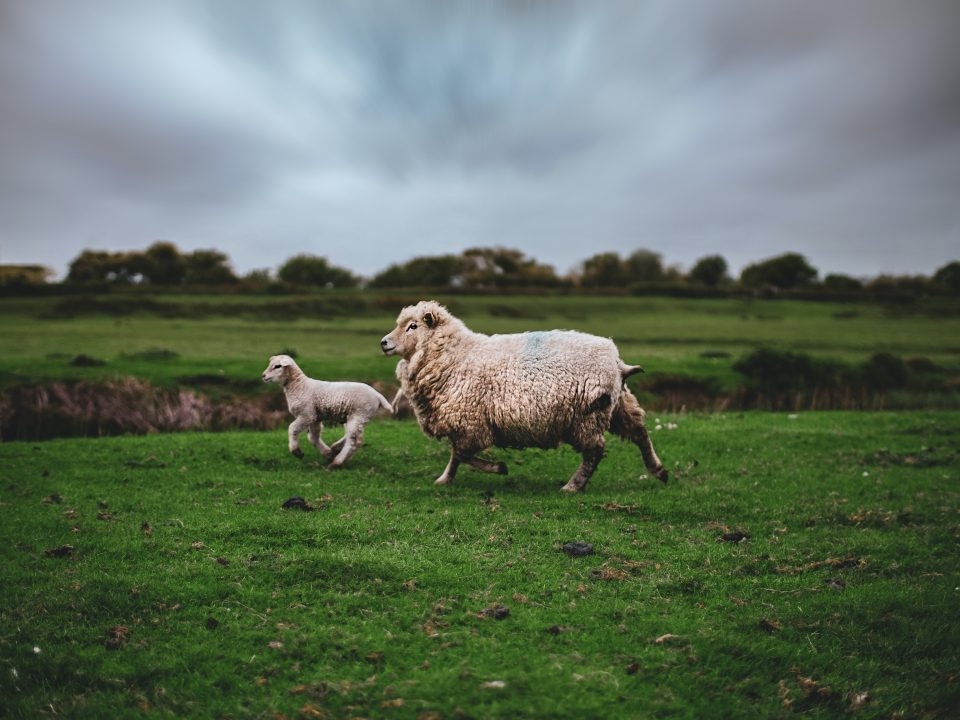 photo of lamb and sheep