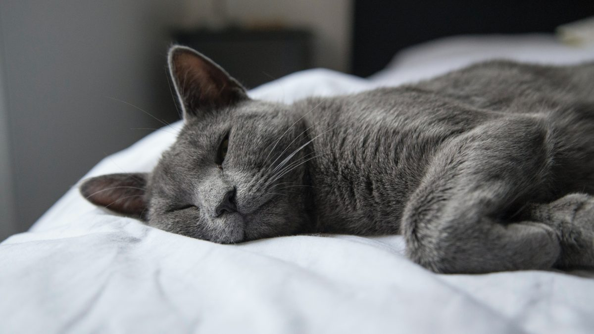 silver tabby cat lying on white textile