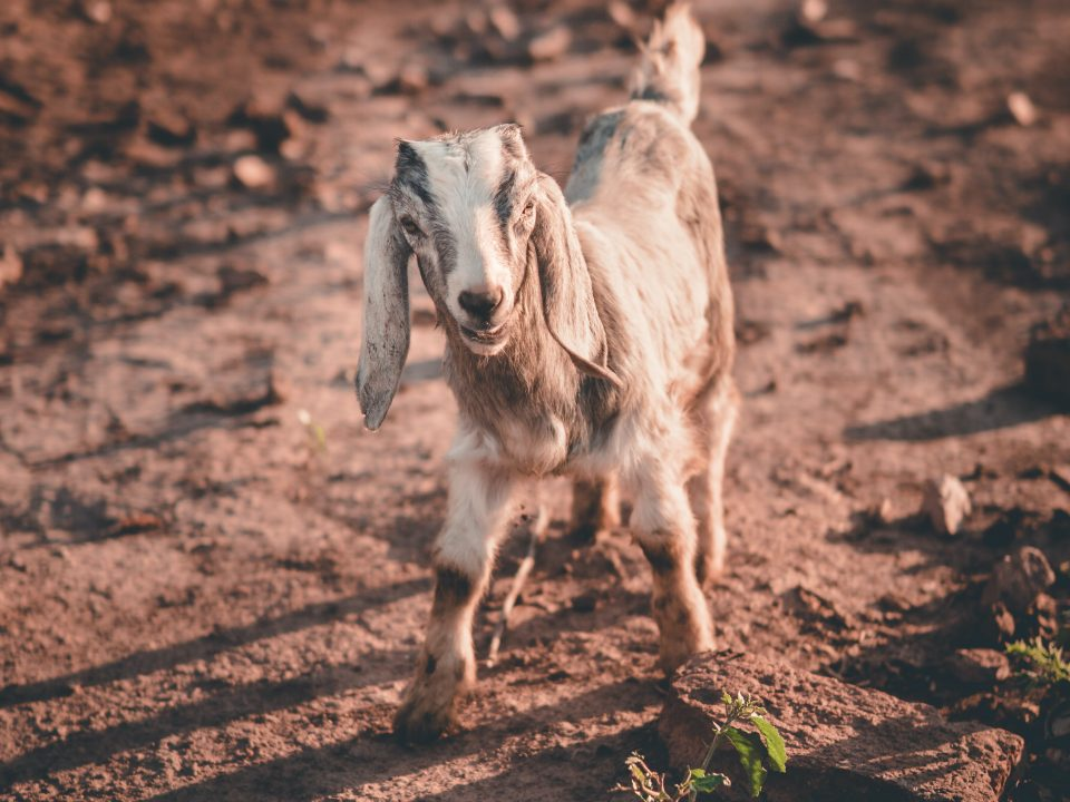 white anglo-nubian goat on ground