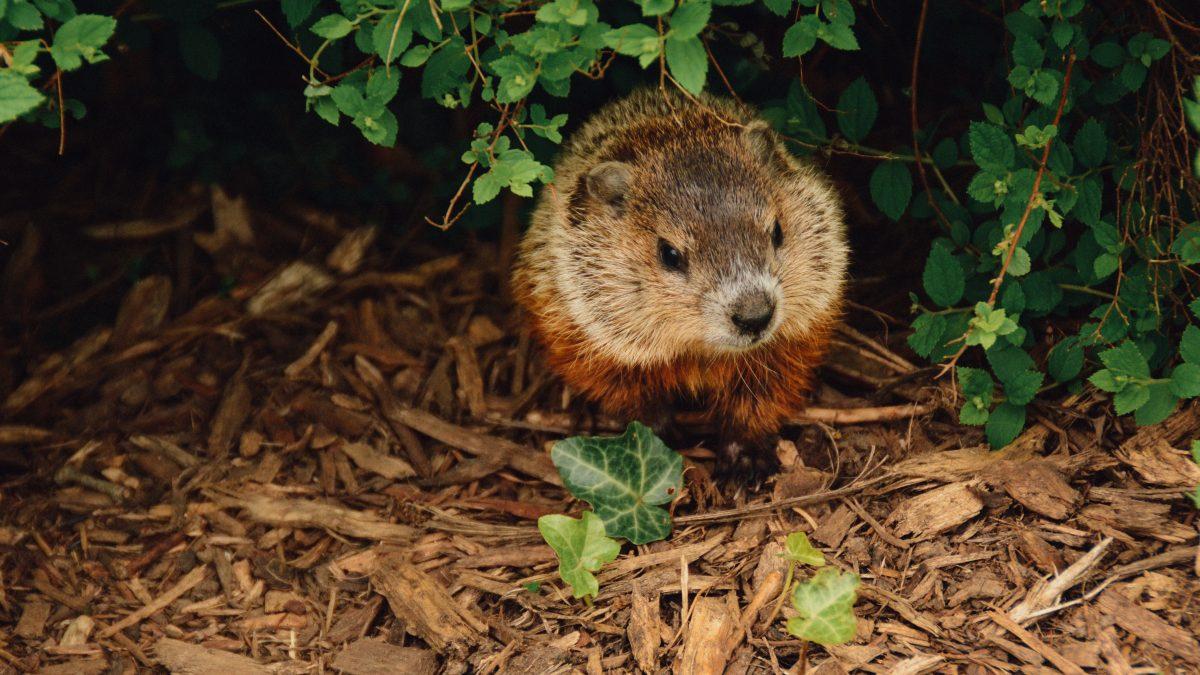 brown beaver walking near trees