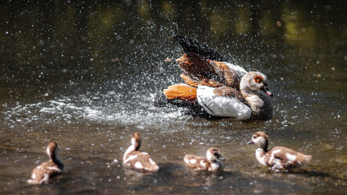 brown and white ducks