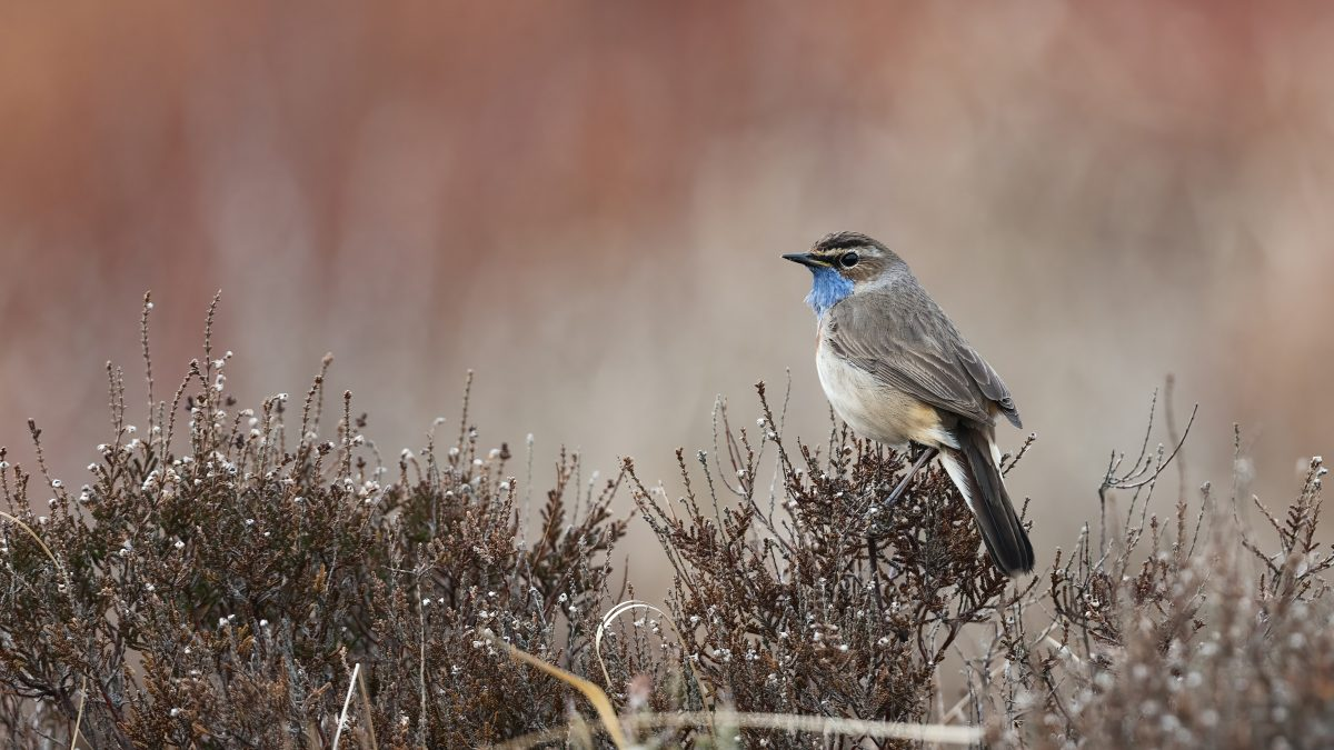 blue and white bird on brown grass during daytime