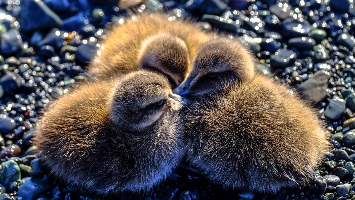 closeup photography of three ducklings