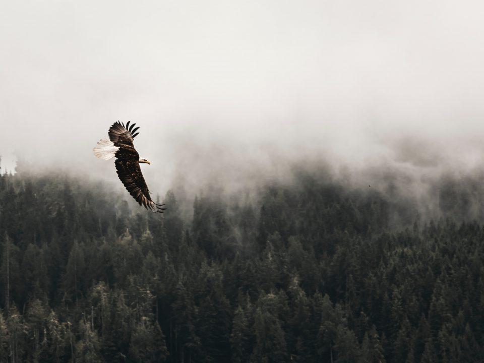 bald eagle flying under forest during daytime