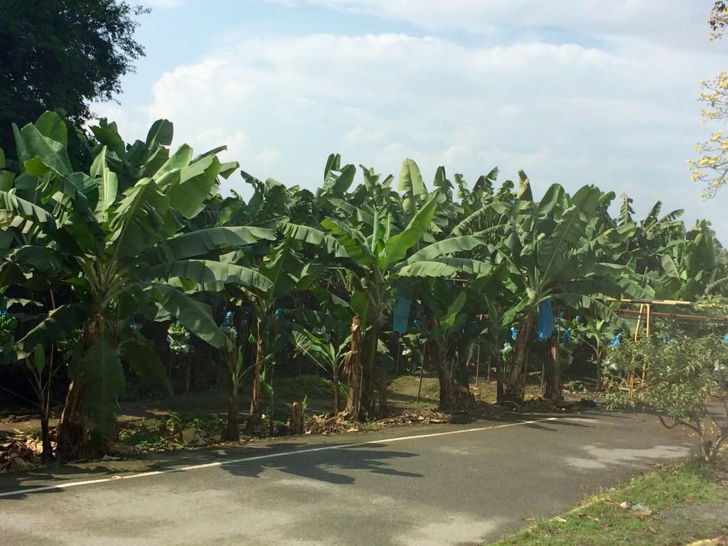 Banana crossing